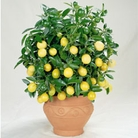 Lemon Tree - 1 Plant