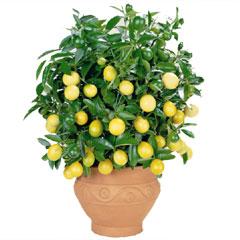 Autumn Plants - Citrus Patio Trees - 2 Plants