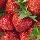 Spring Plants - Strawberry Florence - 12 Bareroot Plants