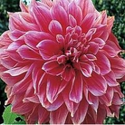 Dahlia Emory Paul - 3 Bulbs