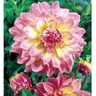 Dahlia Kidds Climax - 3 Bulbs