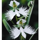 Egret Orchid - 3 Bulbs