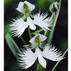 Egret Orchid - 6 Bulbs