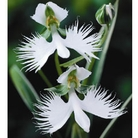 Egret Orchid - 6 Bulbs