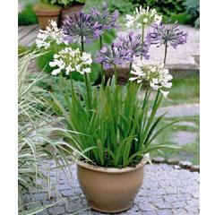 Agapanthus - 6 Mixed Bareroot Plants