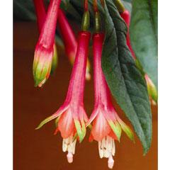 Fuchsia Denticulata - 5 Plug Plants