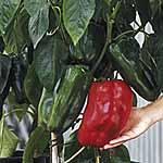 Pepper Sweet F1 Jumbo Seeds