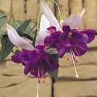 Fuchsia Giant Trailing with FREE 100g fuchsia fertliser sachet. - 18 Mixed Plug Plants