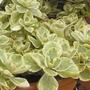 Coleus Canina - 10 Plug Plants