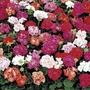 Spring Plants - Geranium Jackpot - 36  Postie Plug Plants