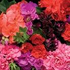 Geranium Trailing Rosebud Mixed - 10 Plug Plants