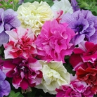 Spring Plants-Petunia Frills and Spills - 5 Postie Plug Plants