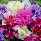 Spring Plants-Petunia Frills and Spills - 10 Postie Plug Plants