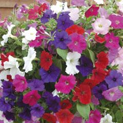 Spring Plants-Petunia Easy Wave - 36 Mixed Postie Plants