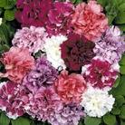 Spring Plants-Petunia Orchid Flowered - 36 Postie Plug Plants