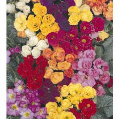 Double Primula Lucky Dip Mix - 5 Plug Plants