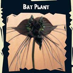 Exotic Seeds - Bat Plant