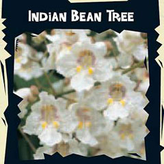 Exotic Seeds - Indian Bean Tree