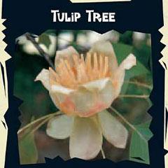 Exotic Seeds - Tulip Tree (Liriodendron Tulipifera)