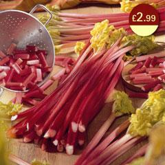 Spring Bulbs - Rhubarb Victoria