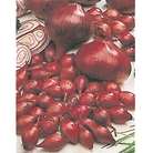 Spring Bulbs - Onion Red Baron
