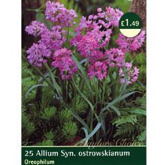 Spring Bulbs - Allium Oreophilum - Pack of 25 Bulbs