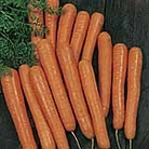 Carrot F1 Bolero Seeds