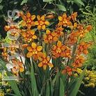 Spring Bulbs - Crocosmia Emily Mackenzie - Pack of 5 Bulbs