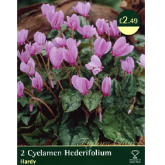 Spring Bulbs-Cyclamen Hederifolium - Pack of 2 Bulbs