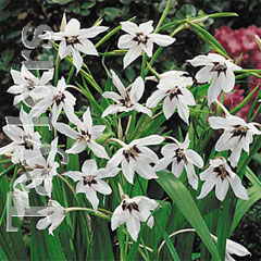 Spring Bulbs - Gladiolus Callianthus - Pack of 25