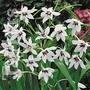 Spring Bulbs - Gladiolus Callianthus - Pack of 25
