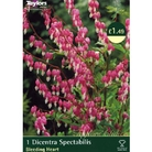 Spring Bulbs - Dicentra Bleeding Heart -1 Perennial Rooted Plant
