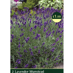 Lavender Munstead - 2 Perennial Rooted Plants