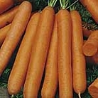 Carrot F1 Maestro Seeds