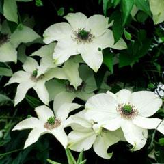 Clematis Plant Gift Box - Pistachio