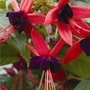 Spring Plants - Climbing Fuchsia Lady Boothby - 15 Postie Plug Plants