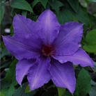 Patio Clematis Flowering Gift - Parisienne