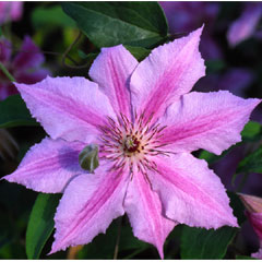Patio Clematis Flowering Gift - Ohh La La