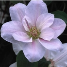 Patio Clematis Flowering Gift - Chantilly