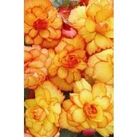Trailing Begonia Illumination Apricot x 10 plants
