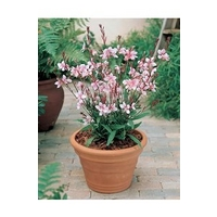 Gaura Cherry Brandy x 5 young plants