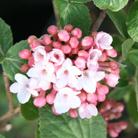 Viburnum x carlcephalum (viburnum)