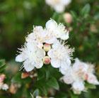 Myrtus communis subsp.tarentina (myrtle)