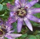 Passiflora Eden ('Hil Pas Eden') (PBR) (passion flower)
