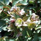 Helleborus x sternii (hellebore)