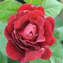 Rosa &#x27;Souvenir du Docteur Jamain&#x27; (rose Souvenir du Docteur Jamain (climbing))