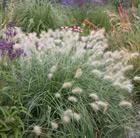 Pennisetum villosum (feathertop)
