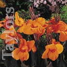 Spring Bulbs - Canna Wyoming - 1 Bulb