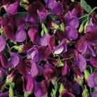 Flower Seeds - Sweet Pea Matucana
