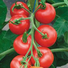 Fruit Seeds -Tomato Matina